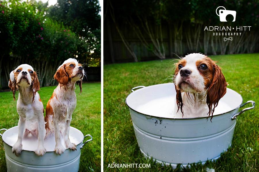dog-bath Dog Photographer Nashville TN Adrian Hitt