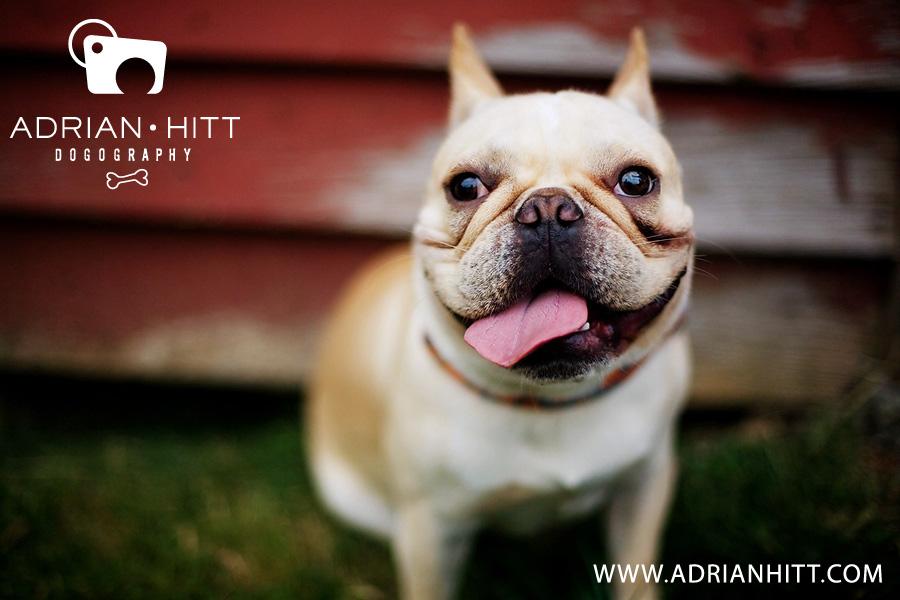 Nashville Dog Photographer, Adrian Hitt Photography