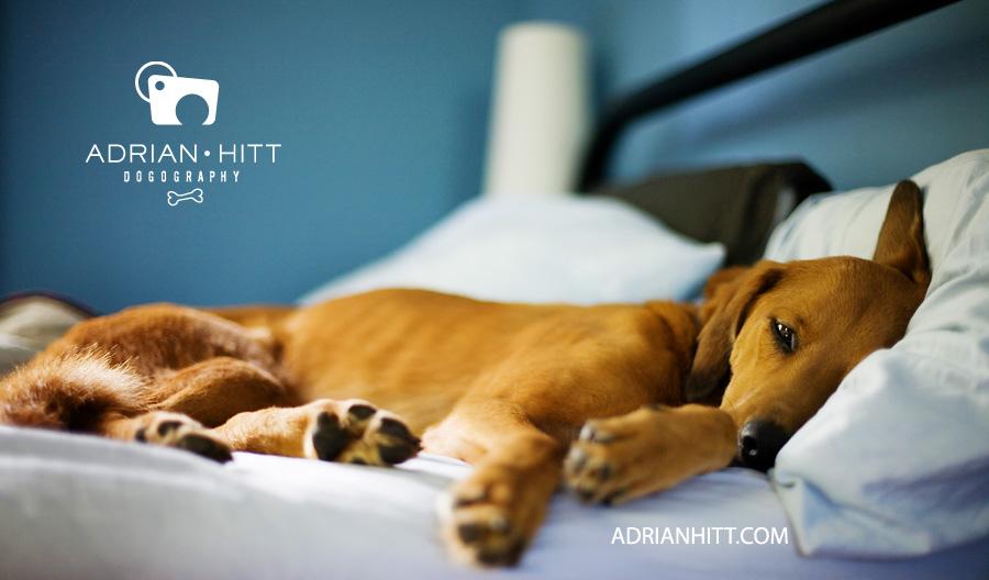 lazy dog Dog Photographer Nashville, TN Adrian Hitt