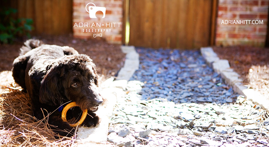 Dog and bullystick Pet Photographer Nashville, TN Adrian Hitt
