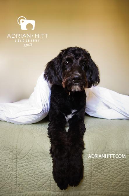 Aussiepoo Dog photographer Nashville, TN adrian hitt