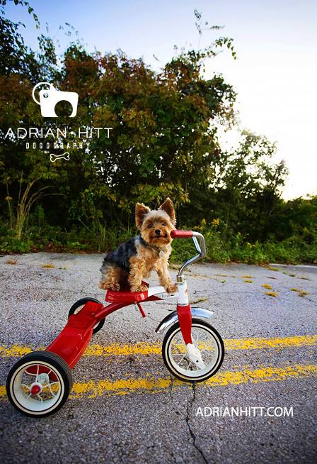 Dog Photographer Nashville, TN Yorkshire Terrier Adrian Hitt