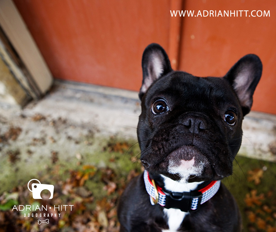 Dog Photographer, Nashville, TN Adrian Hitt Photography