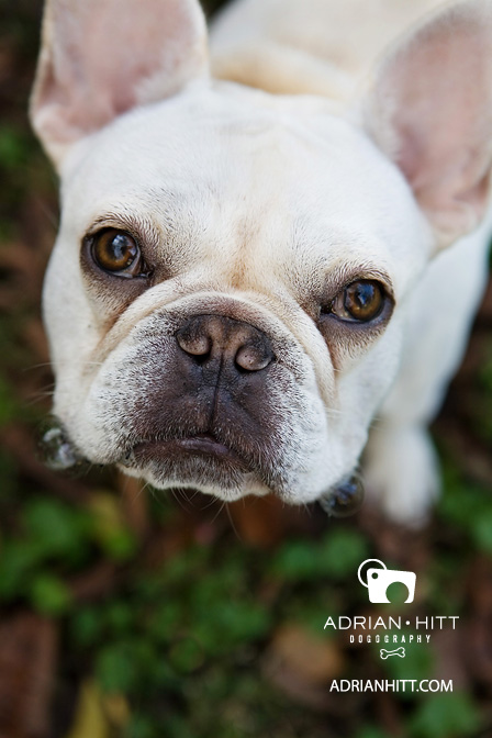 French Bulldog Dog photographer adrian hitt nashville, tn