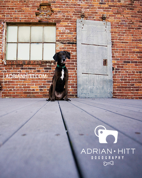 weimaraner dog photographer adrian hitt nashville, tn