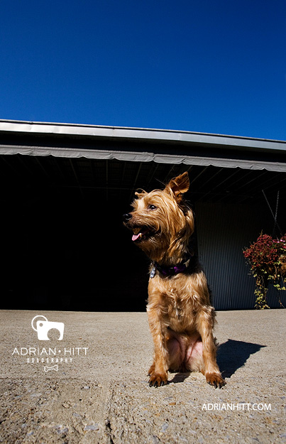 Yorkie Dog photographer Adrian Hitt Nashville, TN