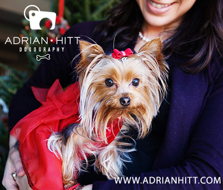 New York City Dog Photographer Adrian Hitt Teacup Yorkie