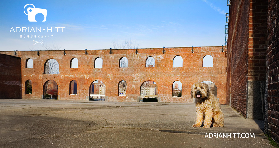 wheaten terrier dog photographer new york city adrian hitt