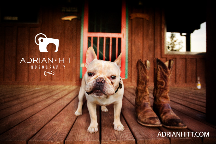 Dog Photographer Nashville, TN French Bulldog Adrian Hitt