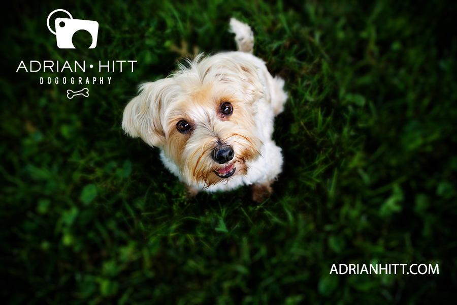 Nashville, TN Dog Photographer Adrian Hitt