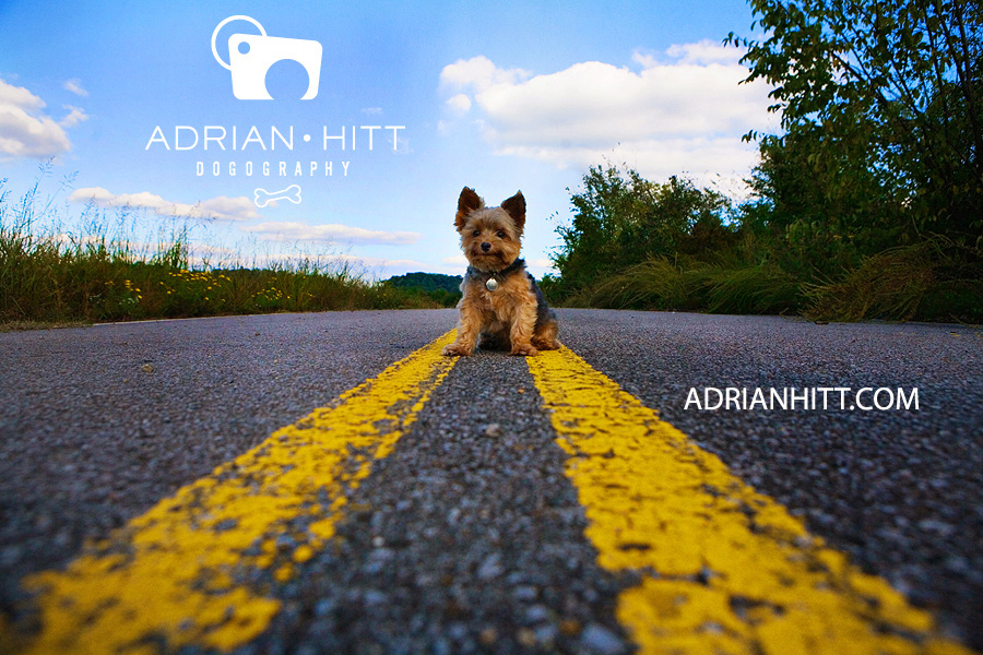 Nashville, TN Dog Photographer Yorkshire Terrier Adrian Hitt