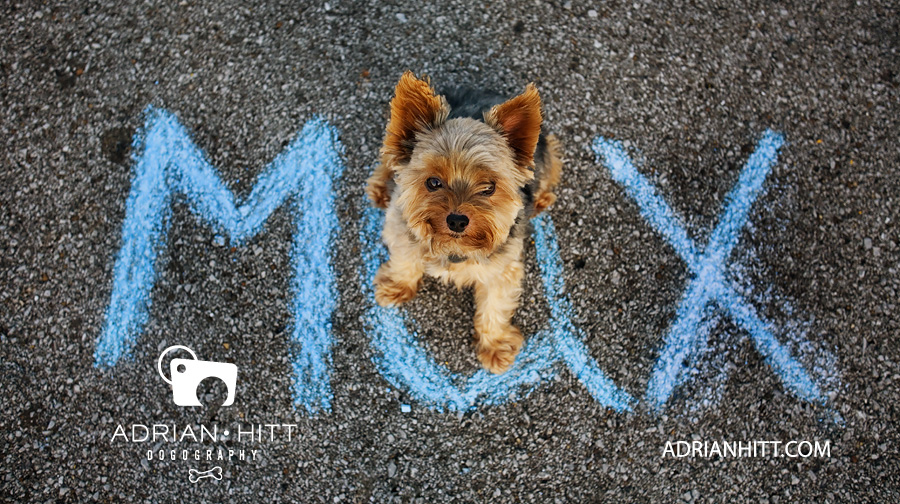 Dog Photographer Nashville, TN Yorkshire Terrier Adrian Hitt