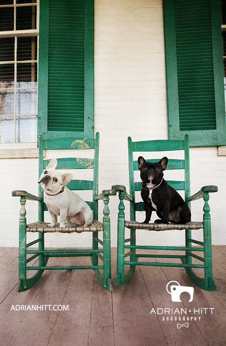 French Bulldog Dog Photographer Nashville, TN Adrian Hitt