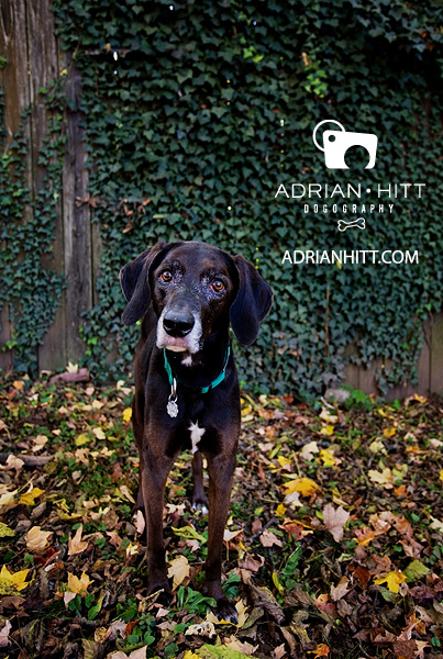 Weimaraner Dog photographer Adrian Hitt Nashville, TN