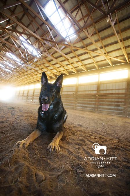 German Shepherd Dog Photographer Nashville, TN Adrian Hitt