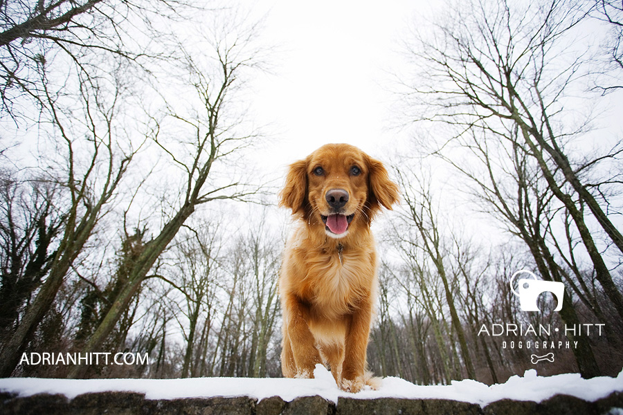 Dog Photographer Lifestyle Golden Retriever Nashville, TN